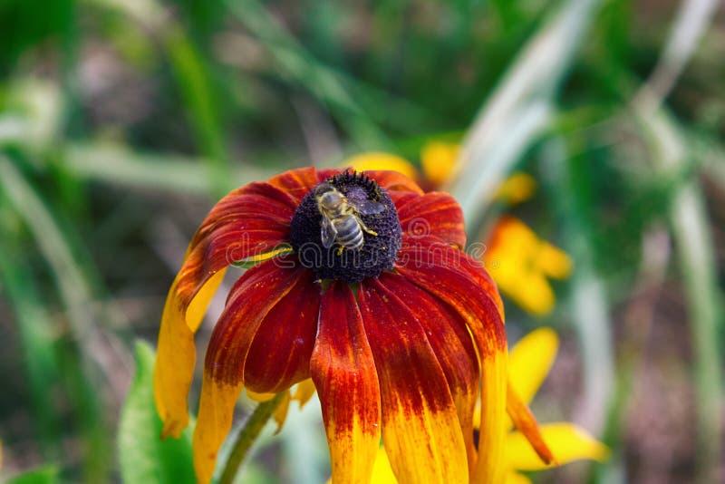 Florescence av rudbeckia som är röd på rabatt royaltyfri foto