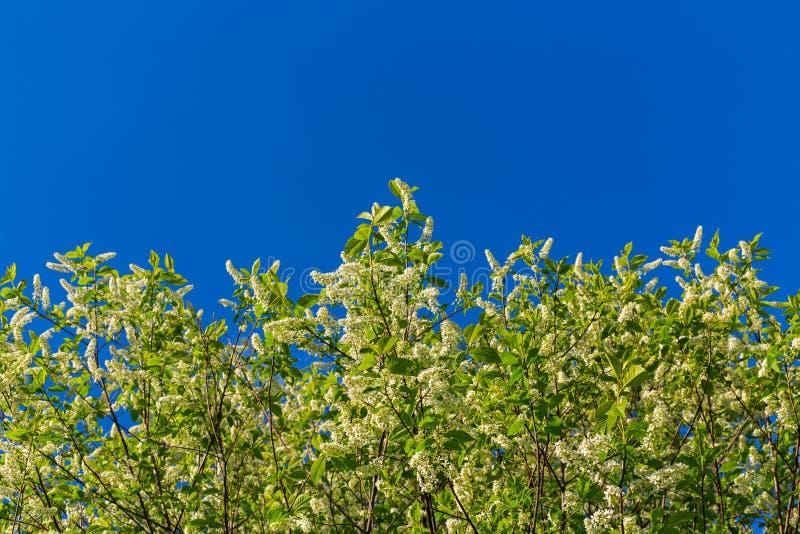 Florescence della uccello-ciliegia su cielo blu immagini stock libere da diritti