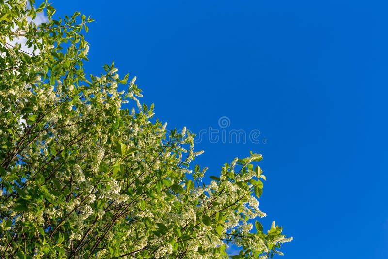 Florescence della uccello-ciliegia su cielo blu fotografia stock libera da diritti