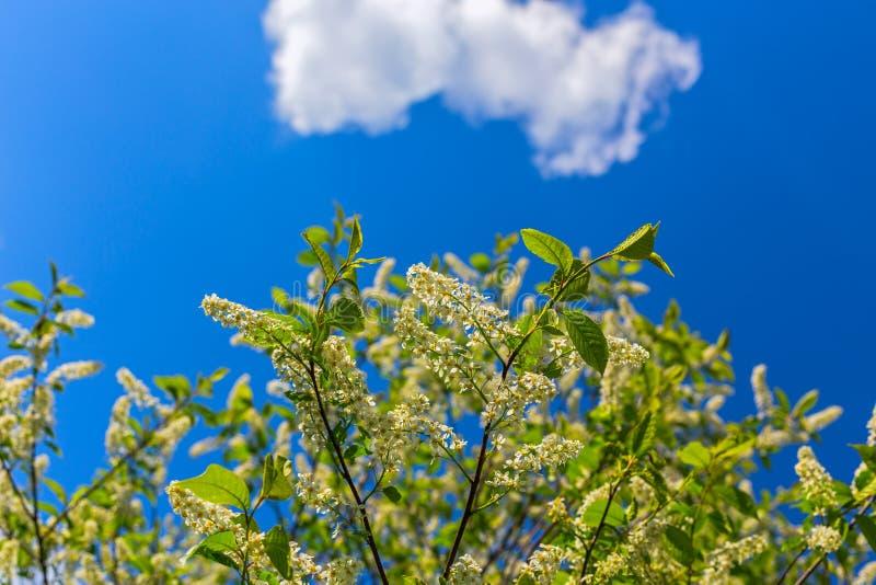 Florescence della uccello-ciliegia su cielo blu con la nuvola fotografia stock