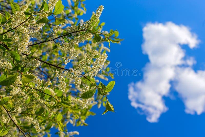 Florescence della uccello-ciliegia su cielo blu con la nuvola fotografia stock libera da diritti