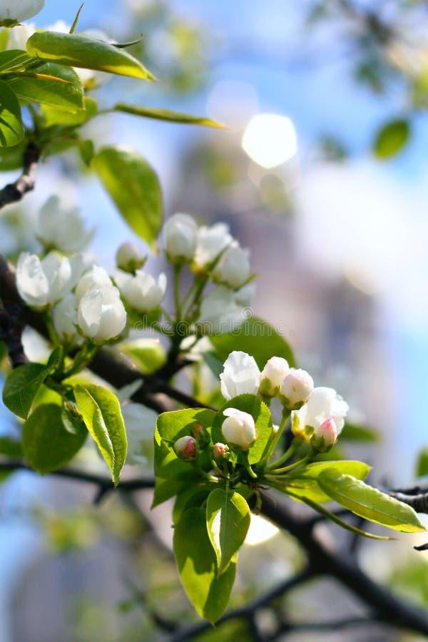 Florescence van appelboom stock afbeeldingen