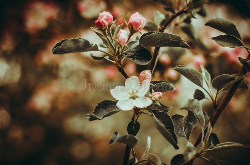 Florescence van appelboom in de de lentescène van het tuinclose-up royalty-vrije stock foto's
