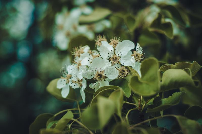 Florescence van pruimboom in de de lentescène van het tuinclose-up stock foto's