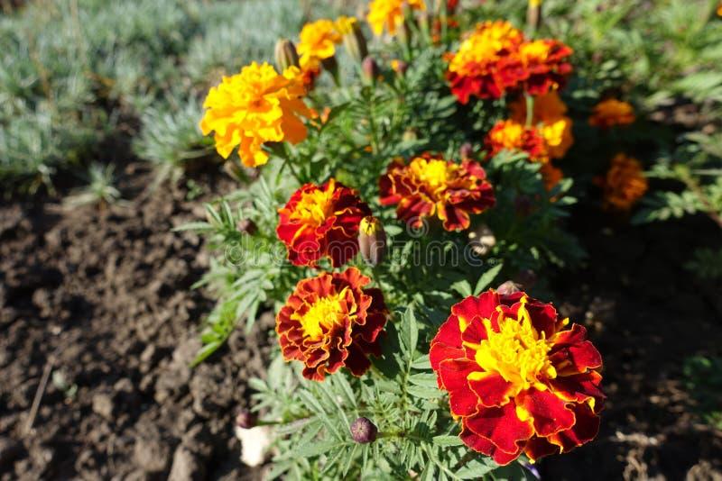 Florescence van Tagetes-patula in Oktober royalty-vrije stock foto's