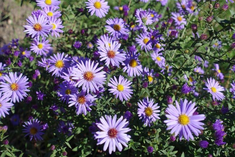 Florescence van violette Symphyotrichum-dumosum stock fotografie
