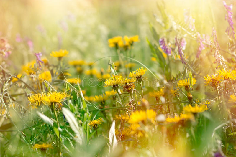 Florescendo flores amarelas e roxas fotos de stock royalty free