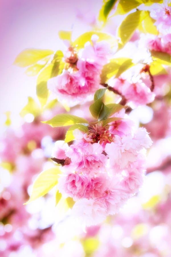 Florescendo, floresce a cereja japonesa fotos de stock royalty free