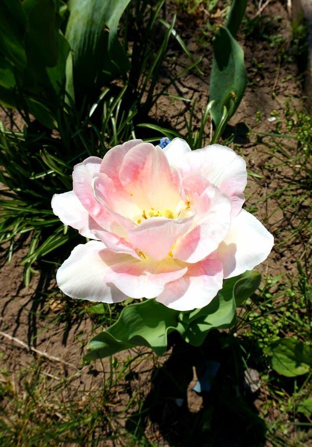 Florescendo na primavera, uma tulipa varietal de cor-de-rosa e de branco no jardim no canteiro de flores fotos de stock royalty free