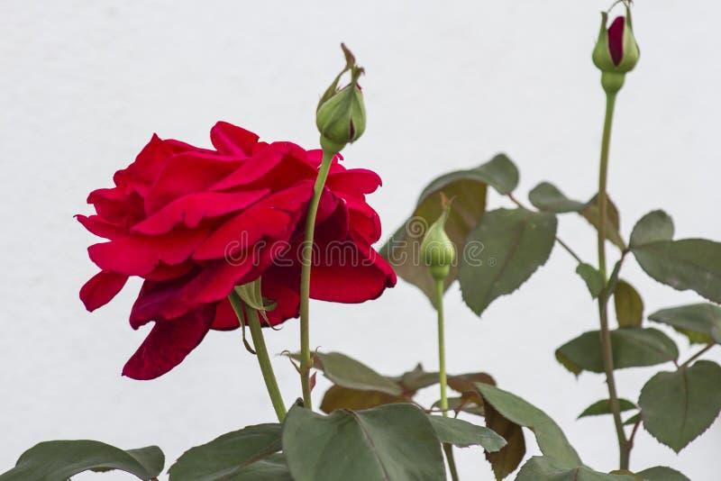 Florescido aumentaram e os botões imagem de stock royalty free