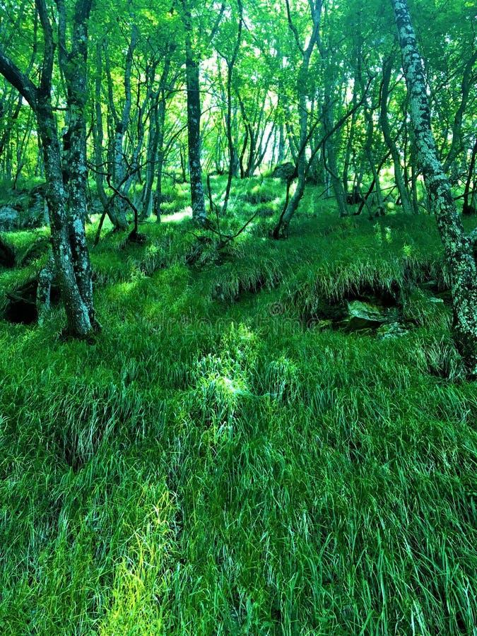 Floresta, árvores, raio de luz e atmosfera do conto de fadas fotografia de stock royalty free