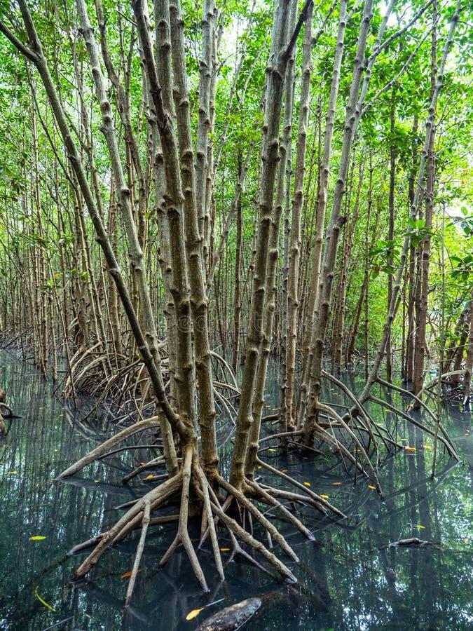 Floresta Ásia Oriental dos manguezais fotos de stock royalty free