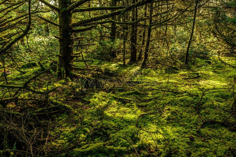 Floresta úmida na decepção do cabo, Washington fotografia de stock