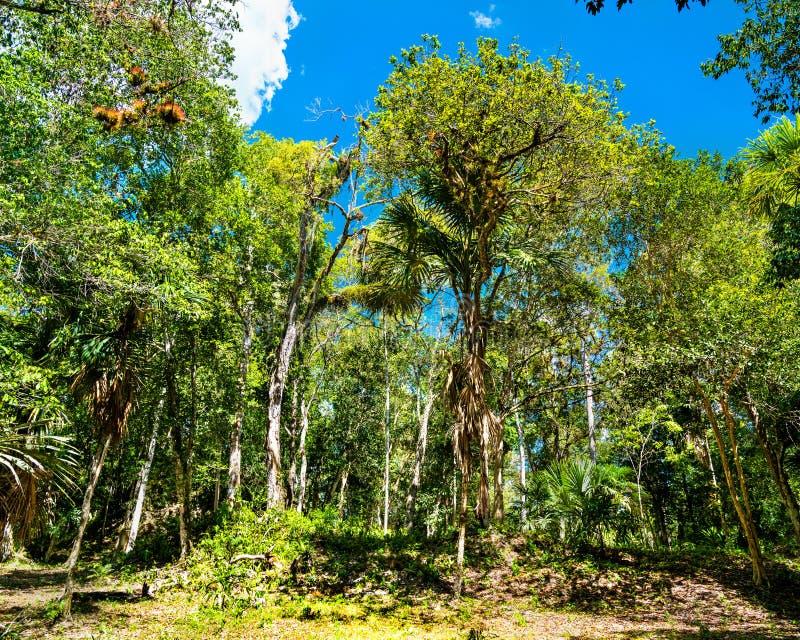 Floresta ?mida no parque nacional de Tikal na Guatemala imagem de stock royalty free