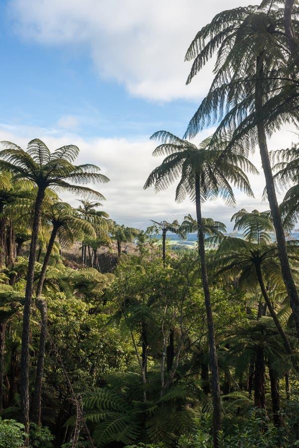 Floresta úmida tropical com samambaias de árvore imagens de stock