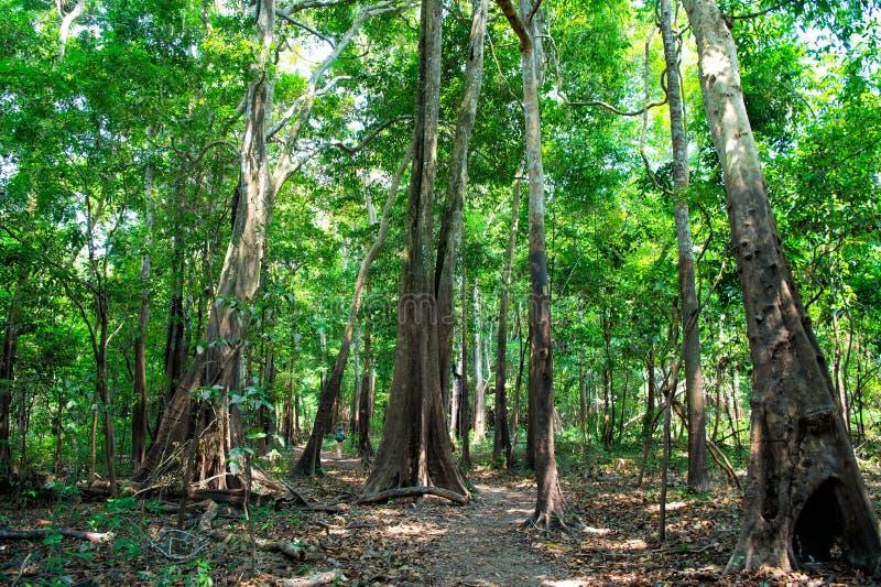 Floresta úmida tropical dentro em manaus, Brasil Árvores com as folhas verdes na selva Floresta do verão na paisagem natural Envi foto de stock