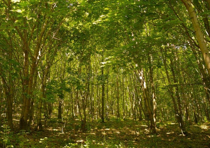 a floresta adiantada foto de stock royalty free