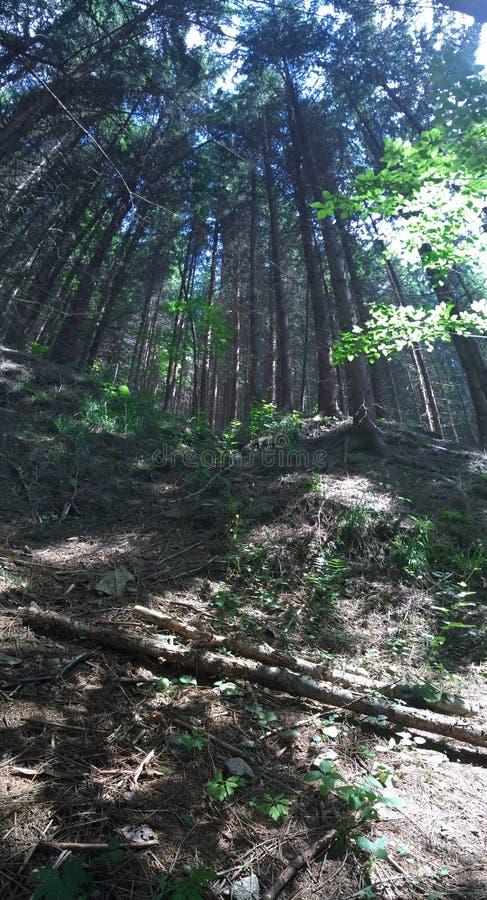 Floresta alta fotos de stock royalty free
