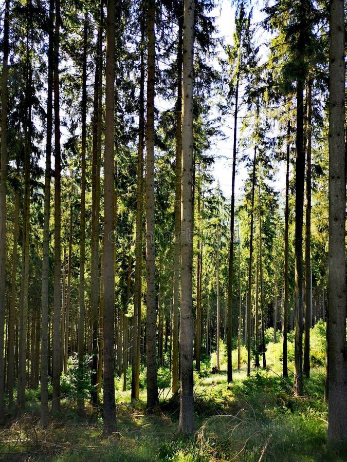 Floresta alta do pinheiro no sol imagens de stock royalty free