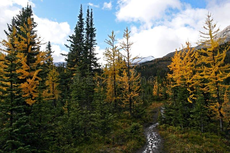 Floresta amarela da árvore de larício abaixo da passagem de montanha nevado fotografia de stock royalty free