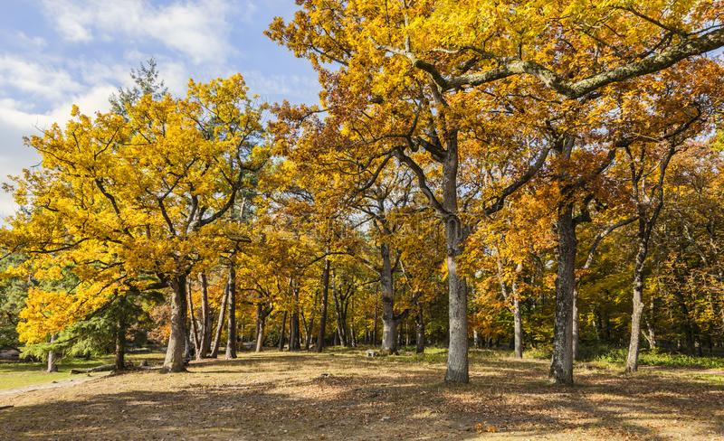 Floresta amarela do outono fotos de stock royalty free