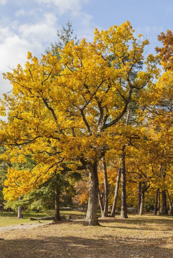 Floresta amarela do outono fotografia de stock