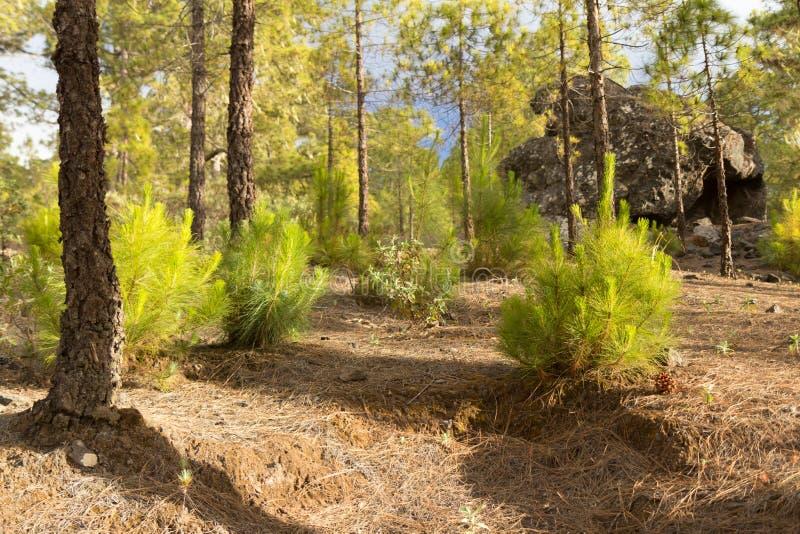 Floresta amarela do pinho no parque natural Tamadaba imagem de stock