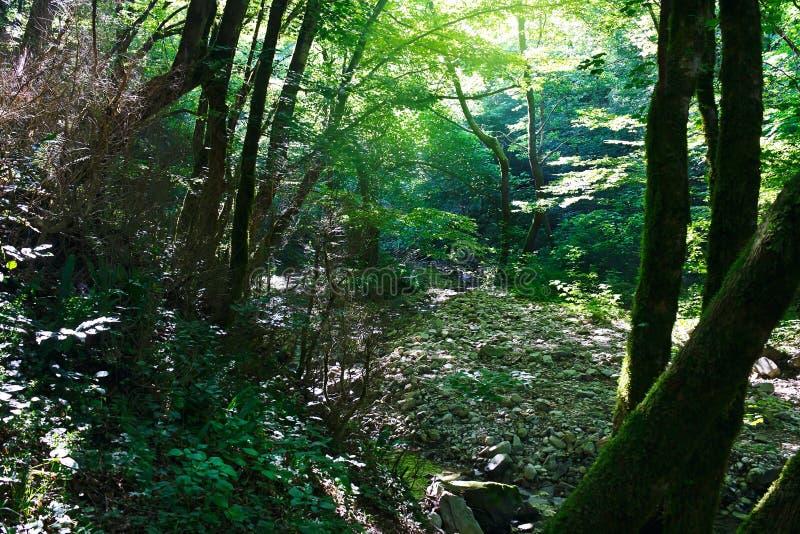 Floresta antiga do buxo da relíquia no dia ensolarado imagens de stock