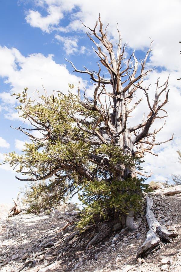 Floresta antiga do pinho de Bristlecone foto de stock royalty free