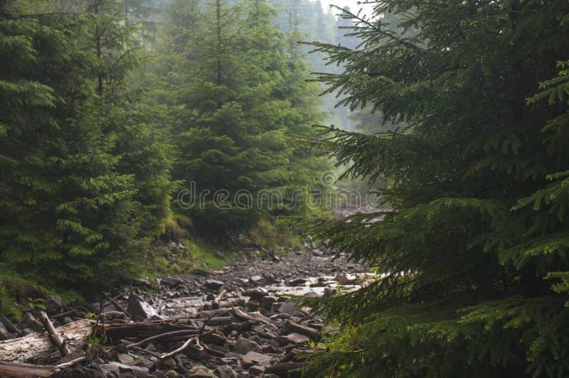 A floresta após as gotas da chuva brilha no sol no brancheser spruce a chuva imagens de stock royalty free