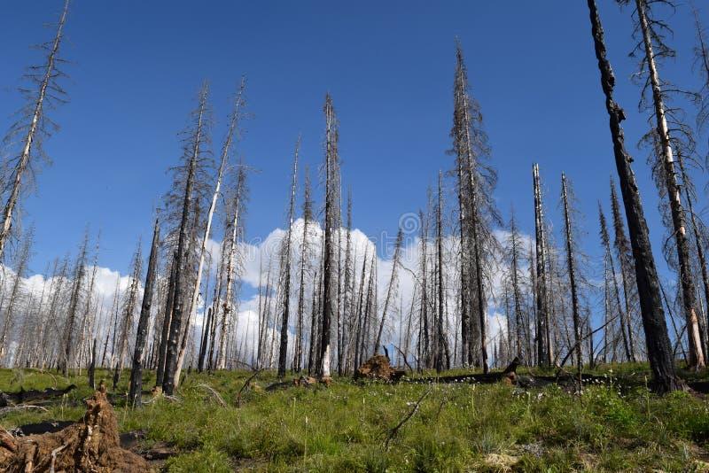 Floresta ap?s o fogo fotos de stock