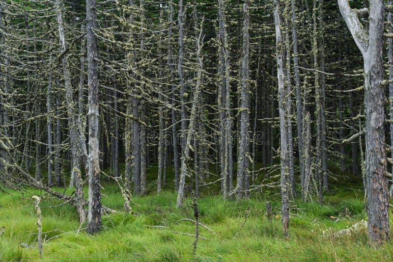Floresta assustador, velha, inoperante, estando em um pântano fotografia de stock