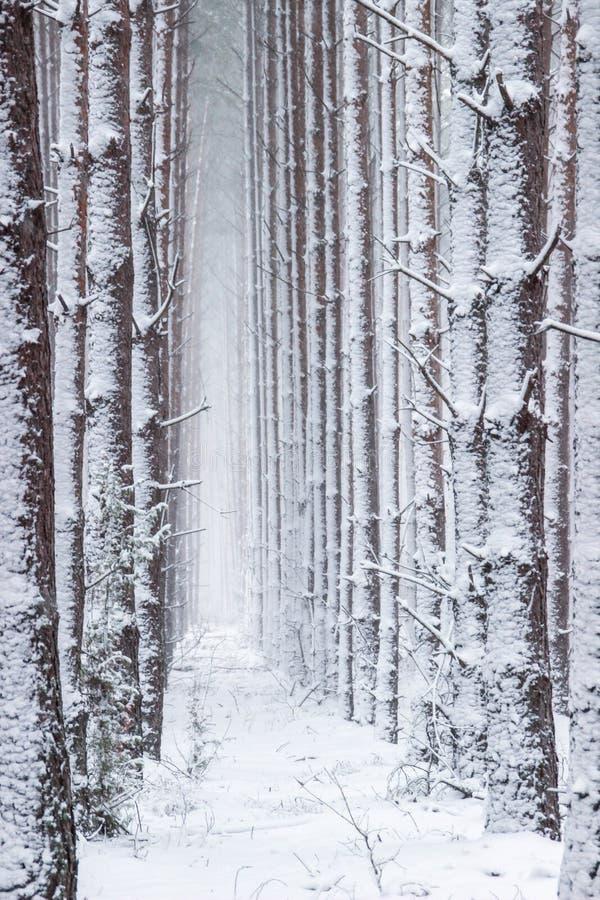 Floresta atmosférica, mágica do inverno do Natal completamente da neve branca foto de stock