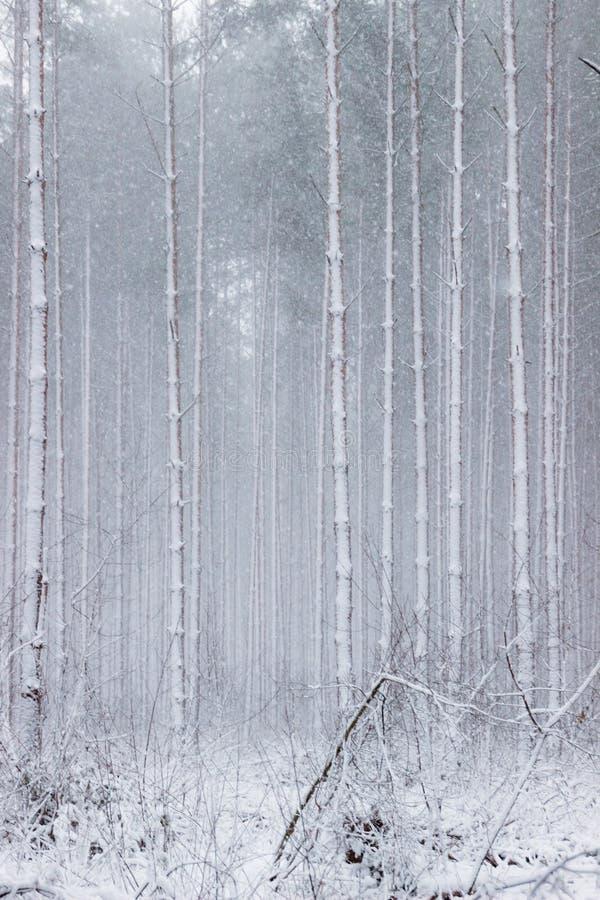 Floresta atmosférica, mágica do inverno do Natal completamente da neve branca imagens de stock