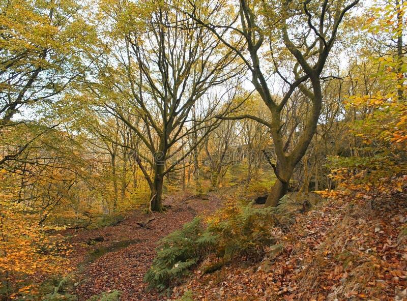 A floresta atrasada da faia do outono com folha dourada colore samambaias e trajeto imagem de stock royalty free
