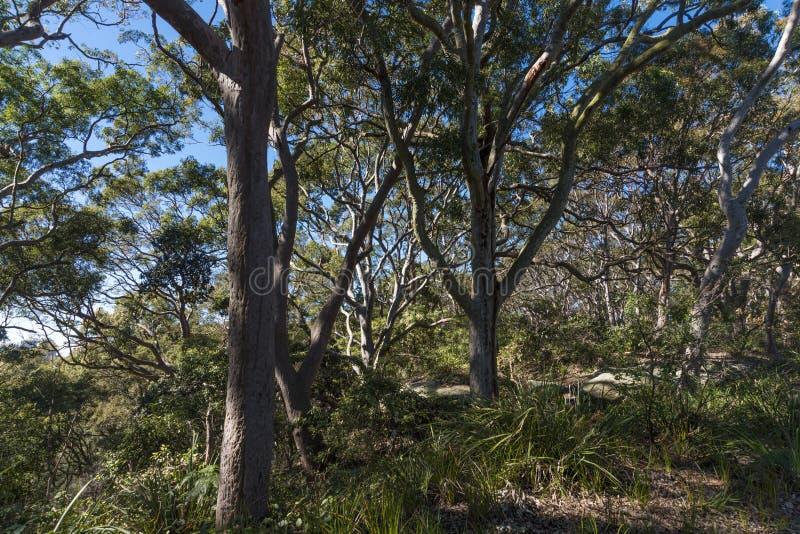 Floresta australiana da costa leste das árvores do eucalipto imagem de stock
