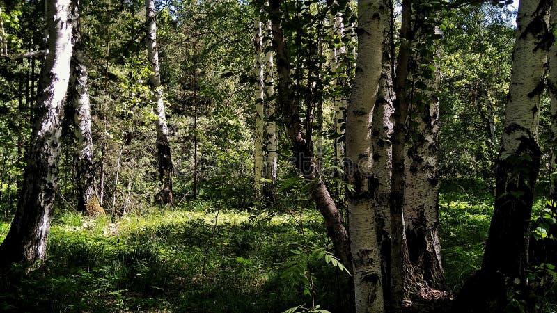 Floresta bonita da mola do russo em um dia ensolarado imagens de stock royalty free