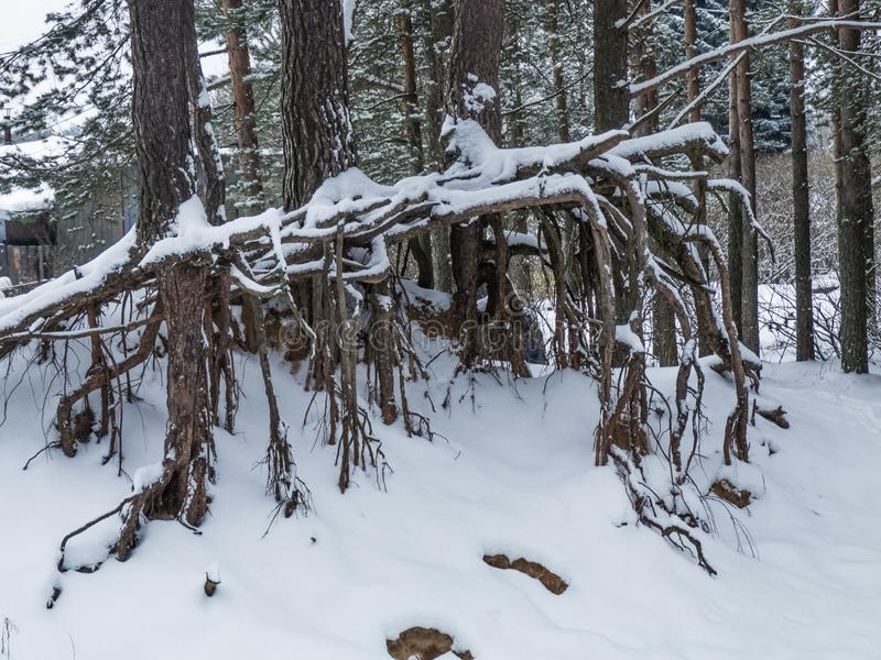 Floresta bonita do pinho do inverno imagem de stock royalty free