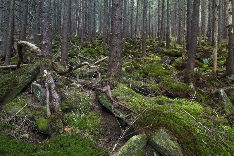 Floresta bonita misteriosa com pedras musgosos fotografia de stock royalty free