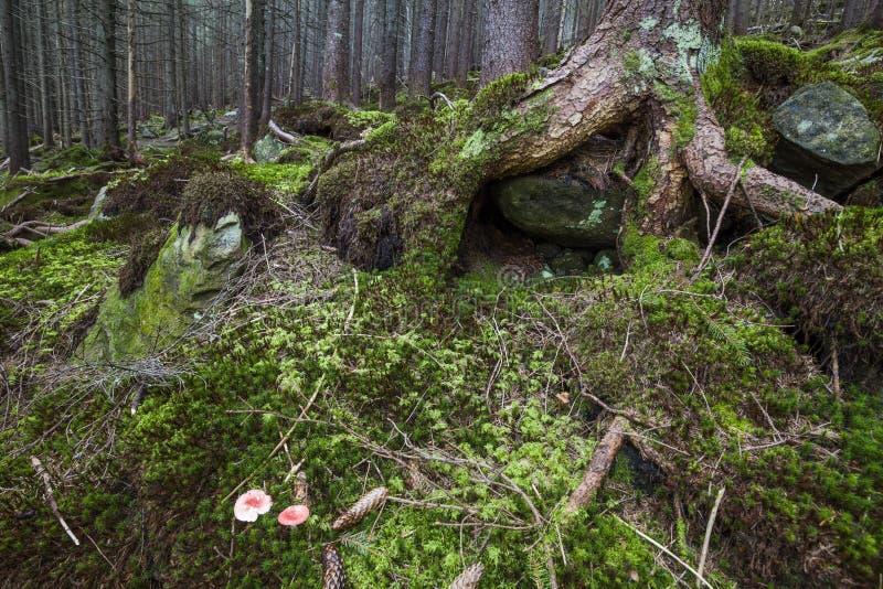 Floresta bonita misteriosa com pedras musgosos fotos de stock