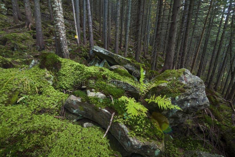 Floresta bonita misteriosa com pedras musgosos fotografia de stock