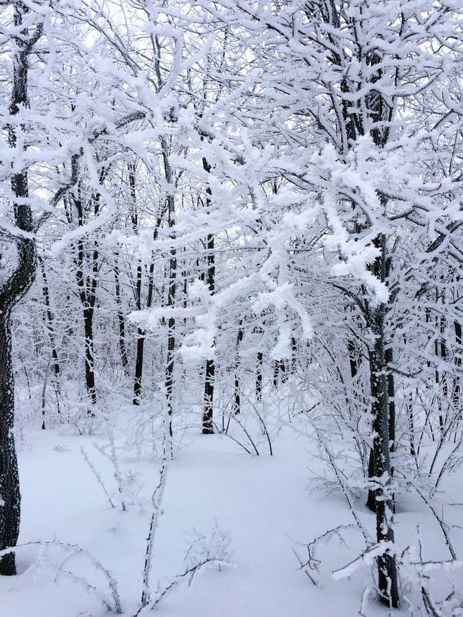 Floresta branca com as árvores cobertas na neve fotografia de stock royalty free
