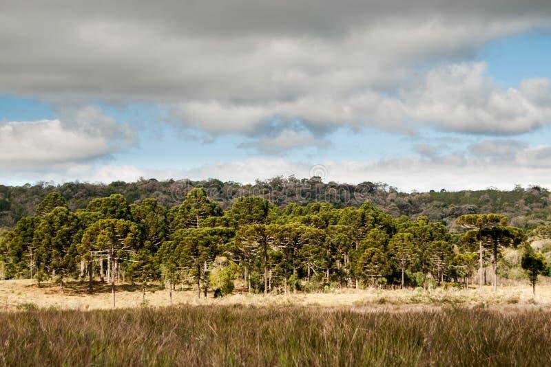 Floresta brasileira do pinho imagem de stock royalty free