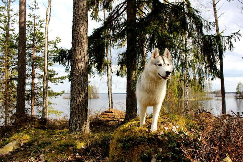 Floresta, cão e lago fotos de stock