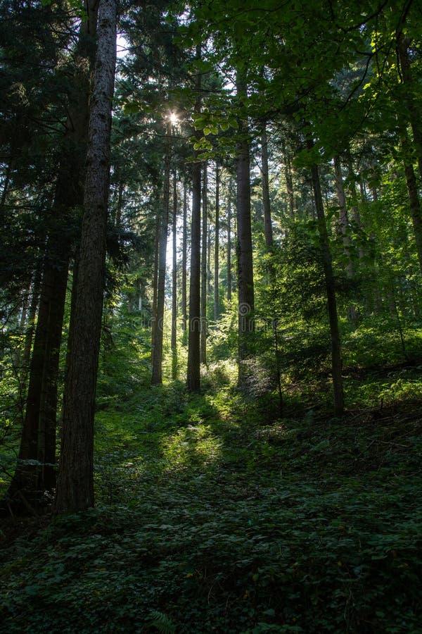Floresta cênico das árvores de folhas mortas verdes frescas quadro pelas folhas, com o sol que molda seus raios mornos fotografia de stock