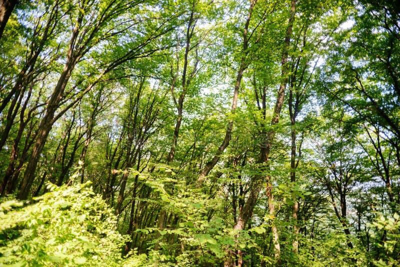 Floresta cênico das árvores de folhas mortas verdes frescas quadro pelas folhas, com o sol que molda seus raios mornos através da imagens de stock