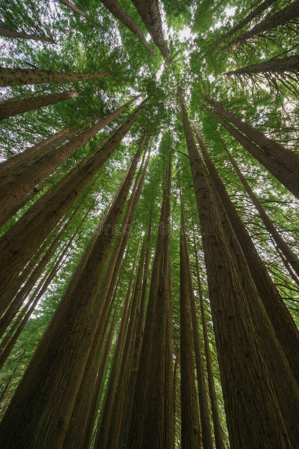 Floresta californiana da sequoia vermelha, grande parque nacional de Otway, Victoria, Austrália fotografia de stock