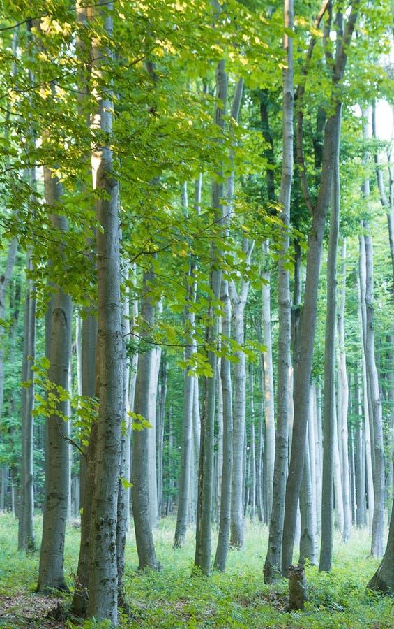 Floresta Carpathian da faia foto de stock