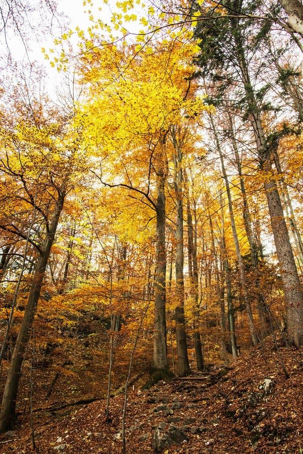 Floresta colorida do outono com árvores altas, cores vibrantes fotografia de stock