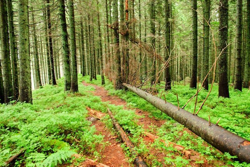 Floresta com árvores caídas fotos de stock